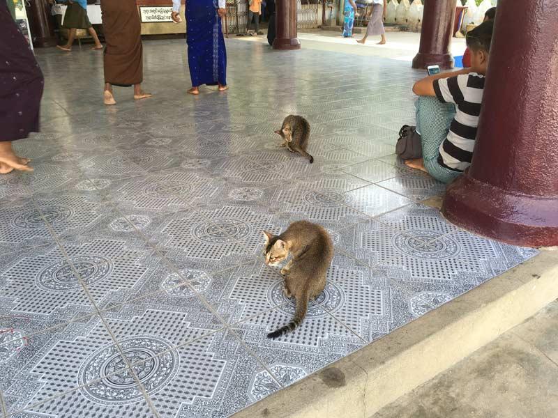 ブーパヤー寺院のにゃんこ