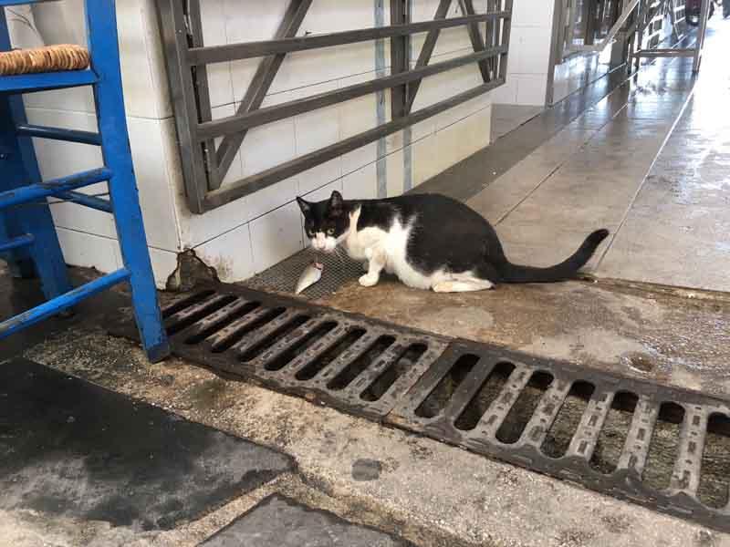 エギナ市場の猫